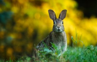 Using rabbits as sustainable food