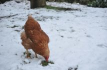 Keep your chickens alive during the winter cold
