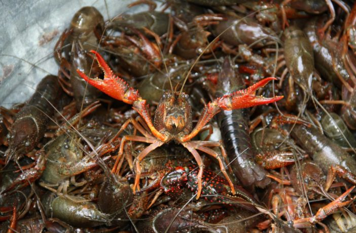 Simple ways to trap and cook crawfish