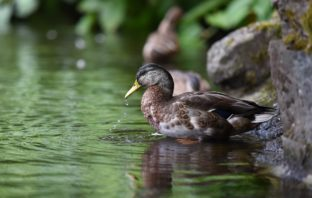 Why you need a flock of ducks on your property