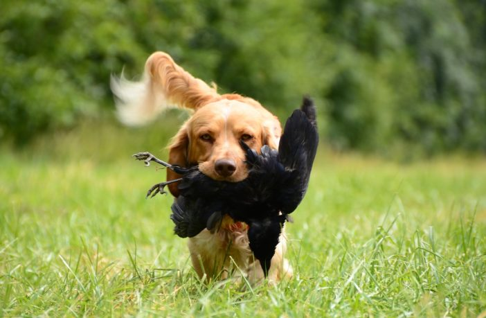 Tips to teach your dog to hunt