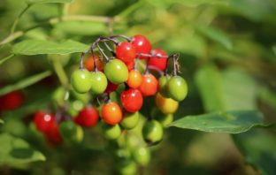 Beware of these poisonous plants